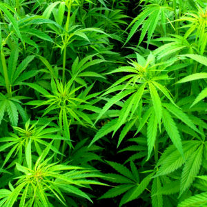 Managing Energy Costs for Medical Marijuana Cultivation Centers